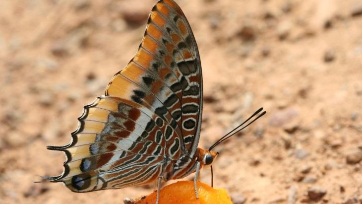 A população de borboletas leafwing não foi afetada pelo estudo de erradicação da mosca tsé-tsé